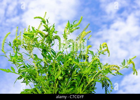 Flowering ragweed plant in closeup against blue sky, a common allergen - Stock Photo