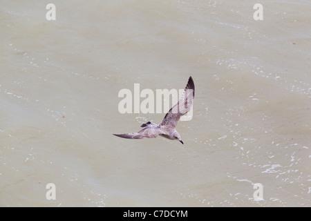 Juvenile or first winter Herring Gull Larus argentatus, Brighton, East Sussex, UK, autumn - Stock Photo