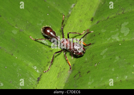 Bullet (Conga) Ant, Paraponera clavata near Sacha Lodge