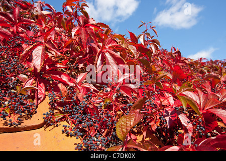 Virginia Creeper in autumn on a red tile roof - Stock Photo