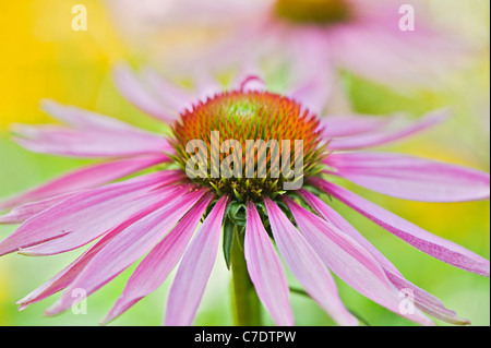 Echinacea purpurea Eastern purple cone flowers or Purple coneflower - Stock Photo
