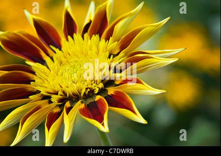 Gazania 'Tiger Stripes' - Treasure Flower, Daybreak series, Gazania rigens - Stock Photo
