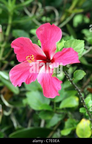 Pink Hibiscus Flower (Hibiscus rosa-sinensis), Papua New Guinea - Stock Photo