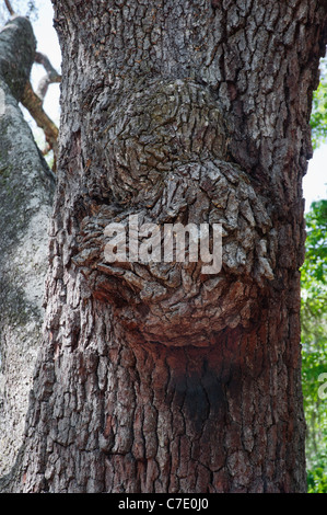 O'Leno State Park North Florida wood burl growing on the trunk of a Live Oak tree - Stock Photo