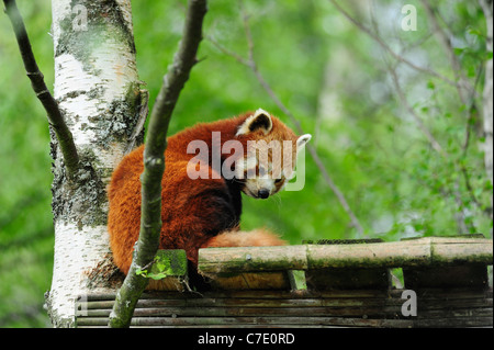 Red panda, Highland Wildlife Park, Kincraig, Kingussie, Scotland - Stock Photo