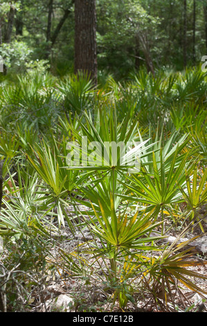 O'Leno State Park North Florida saw palmetto understory vegetation - Stock Photo