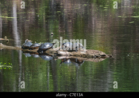 O'Leno State Park North Florida yellowbelly slider turtles sunning atop a floating log in the Santa Fe River - Stock Photo