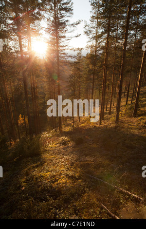 Young pine ( pinus sylvestris ) heath / coniferous forest growing on a dry ridge , Finland - Stock Photo