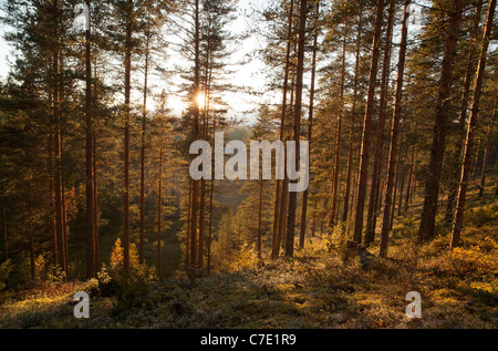 Young pine ( pinus sylvestris ) forest growing on a dry ridge , Finland - Stock Photo