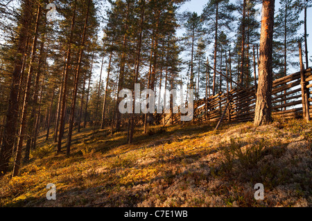 Young pine ( pinus sylvestris ) forest growing on a dry esker ridge and traditional wooden pole fence , Finland - Stock Photo