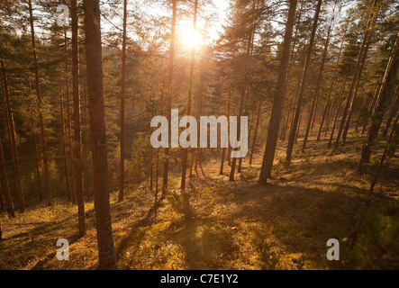 Young pine ( pinus sylvestris ) forest growing on a dry sandy ridge , Finland - Stock Photo