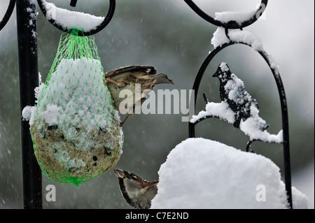 Two Common / House sparrows (Passer domesticus) feeding on garden bird feeder in the snow in winter, Belgium - Stock Photo