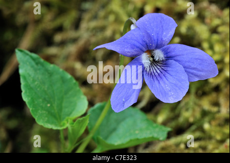 Wood violet / Common dog violet (Viola riviniana) in flower, Luxembourg - Stock Photo