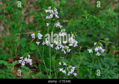 Cuckoo Flower / Lady's Smock (Cardamine pratensis) flowering in meadow - Stock Photo