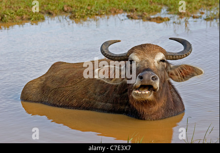 Wild water buffalo bubalus arnee Sri Lanka - Stock Photo