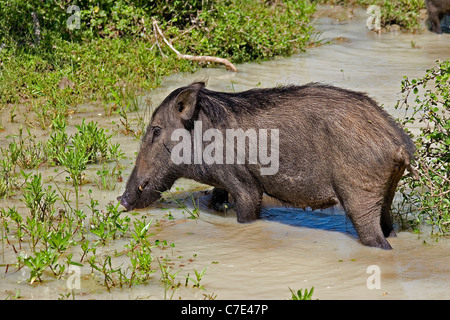 Wild boar sus scrofa Sri Lanka - Stock Photo