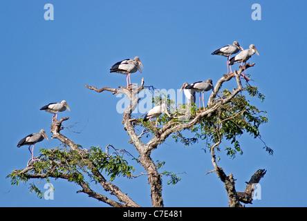 Asian open billed storksanastomus oscitans Sri Lanka - Stock Photo
