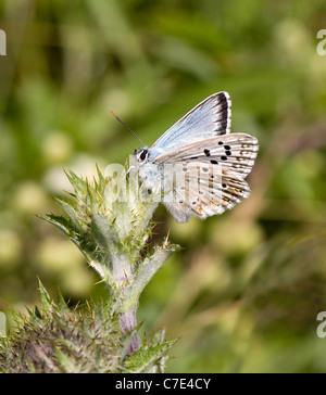 Male Chalkhill Blue butterfly Polyommatus coridon sunning on thistle at Portland Bill Dorset - Stock Photo