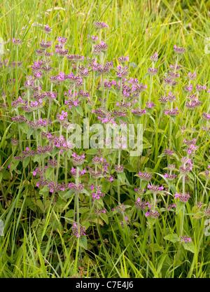 Wild Basil Clinopodium vulgare growing in open grassland in the Cotswold hills near Cheltenham UK - Stock Photo