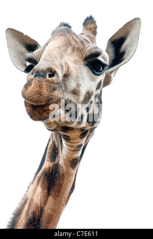 Head Shot of Rothschild Giraffe, Kenya, Africa - Stock Photo