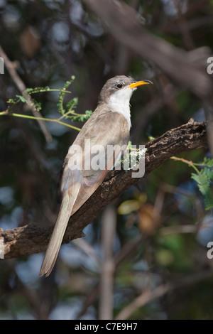 Yellow-billed Cuckoo Coccyzus americanus Patagonia, Santa Cruz Co., Arizona, United States 9 September Adult Cuculidae - Stock Photo