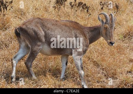 Rare Nilgiri Tahr (Hemitragus hylocrius) Mountain Goat in the Western Ghats, Southern India. - Stock Photo