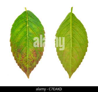 Diseased leaf of  Hydrangea serrata Blue Bird – fungal attacked - cutout - Stock Photo