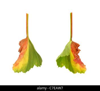 Diseased leaf of  Pelargonium – fungal attack - isolated - Stock Photo