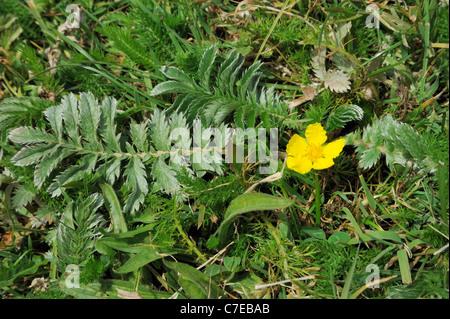 Silverweed, potentilla anserina - Stock Photo