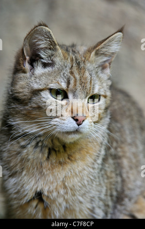Young Wild cat (Felis silvestris) close up, Bavarian Forest, Germany - Stock Photo