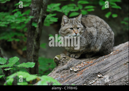 Wild cat (Felis silvestris) sitting on fallen tree trunk in woodland - Stock Photo