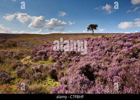 Lone Pine, Commondale Moor, North York Moors National Park - Stock Photo
