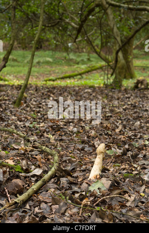 Phallus impudicus fungi also known as Witch's Egg or Common Stickhorn on woodland floor - Stock Photo