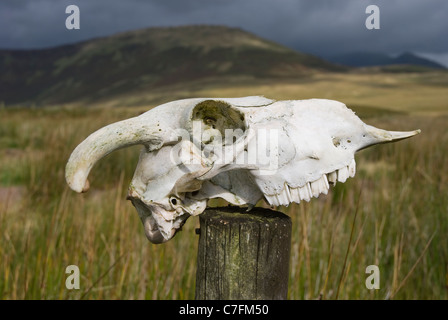 Skull of a sheep on a wooden fence post. - Stock Photo