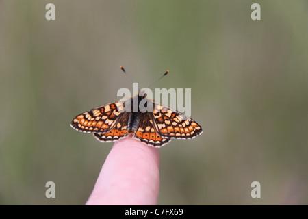 Marsh fritillary butterfly resting on my finger - Stock Photo