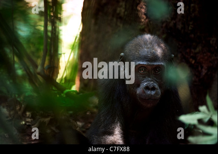 The kid of a lowland gorilla in a native habitat. - Stock Photo