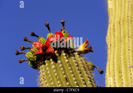 Saquaro Organ Pipe cactus flower in blom against clear blue sky - Stock Photo