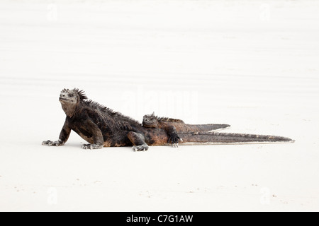 Two marine Iguanas (Amblyrhynchus cristatus) basking - Stock Photo