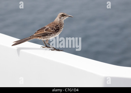 Espanola Mockingbird (Mimus macdonaldi) perched on yacht in the Pacific Ocean