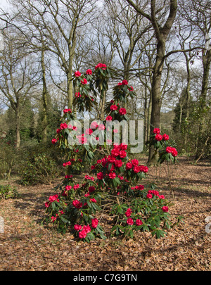 Rhododendron Grace Seabrook - Stock Photo