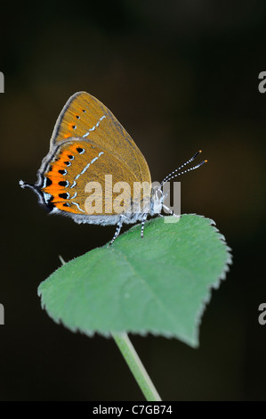 Black Hairstreak Butterfly (Satyrium pruni) adult at rest on blackthorn leaf, UK - Stock Photo