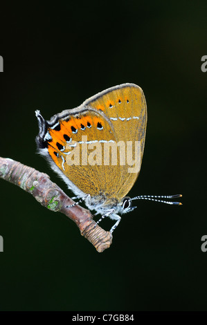 Black Hairstreak Butterfly (Satyrium pruni) adult at rest on twig, UK - Stock Photo