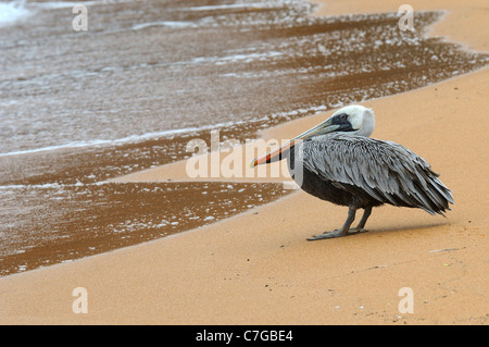 Brown Pelican (Pelecanus occidentalis) standing on sandy beach, Galapagos Islands, Ecuador - Stock Photo