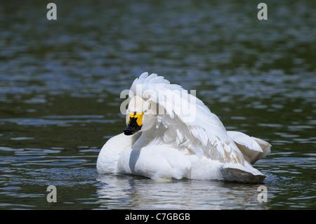 Bewick's Swan (Cygnus columbianus) on water, preening, Slimbridge, UK - Stock Photo