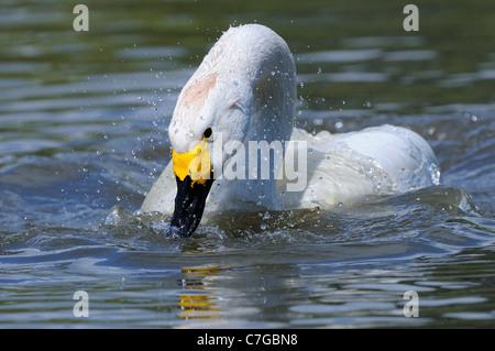 Bewick's Swan (Cygnus columbianus) on water, bathing, Slimbridge, UK - Stock Photo