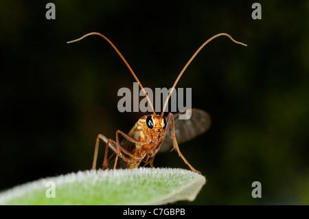 Ichneumon Fly (Ichneumonidae) resting on leaf, Oxfordshire, UK - Stock Photo