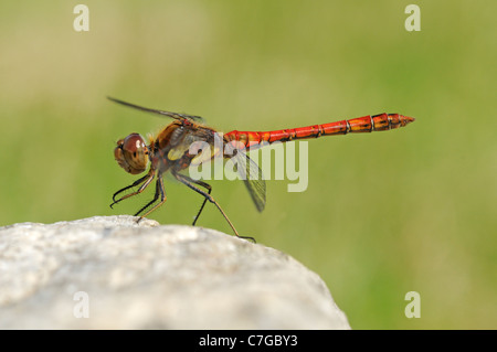 Common Darter Dragonfly (Sympetrum striolatum) male at rest on rock, Oxfordshire, UK - Stock Photo
