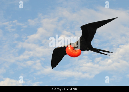 Magnificent Frigatebird (Fregata magnificens) in flight with inflated gular pouch, Galapagos Islands, Ecuador - Stock Photo