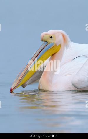 White Pelican (Pelecanus onocrotalus) portrait of adult in breeding plumage, Lake Kerkini, Greece - Stock Photo