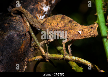 Mini smallest Chameleon Chamäleon BROOKESIA madagascar standing upright wild wildlife wilderness animal ground chameleon - Stock Photo